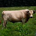 UD - Rare Ancient White Park Steer
