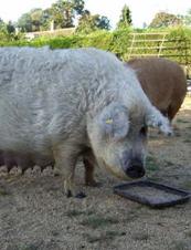 UrbanDaddy - Mangalitsa Pig