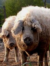 UD - Mangalitsa Pigs