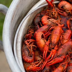 Let the Great Crawfish Feast Begin