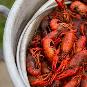 Let the Great Crawfish Feast Begin