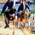 Ostrich Racing. Yes, This Is Happening.