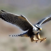 Your Expertise in Falconry Begins Now