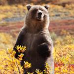 80-Year-Old Man vs. Wild Bear