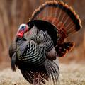 Wild Turkey Wild Turkey