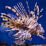 Eating Lionfish Like a Hero