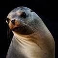 Sea Lions Slowly Return to Pier 39