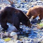 Tahoe Calls Bear Selfies a Bad Idea