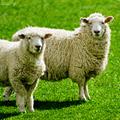Sheep! Magazine