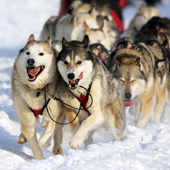 Your Team of Sled Dogs Awaits...