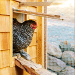 About That Chandeliered Chicken Coop...