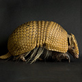 Finally, It's Armadillo Day